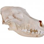 dogskull